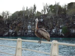 Pelican at Puerto Ayora, Galapagos