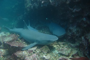 White tip shark at Galapagos