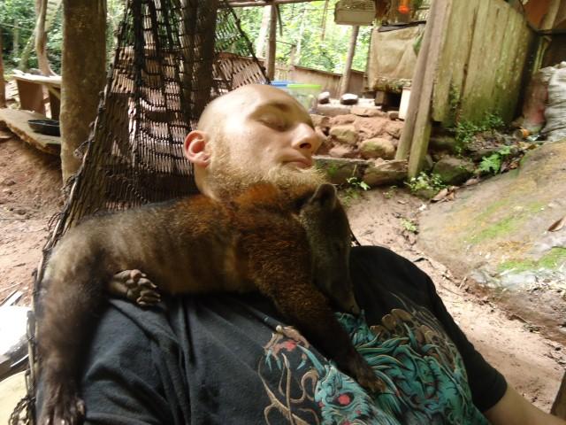 Coati, animal rescue center Cerelias, Peru