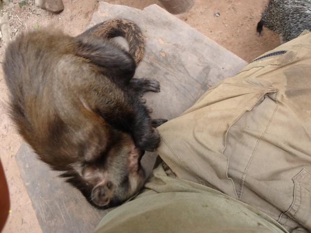 Machin monkey, animal rescue center Cerelias, Peru